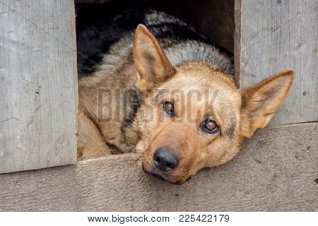 In The Dog's Kennel Lies A Sad Dog, He Guards The Farm_