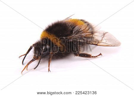 The Bumblebee (bombus Terrestris) Turned Right Isolated On White Background
