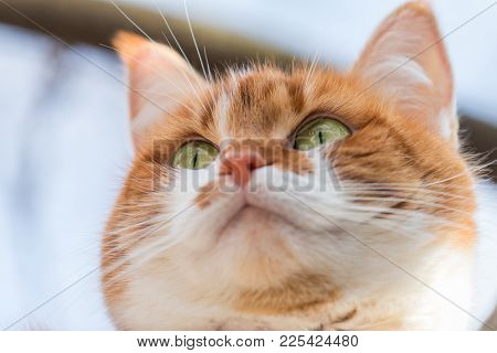 Portrait Cut Funny White-and-red Cat Close Up. Shallow Depth Of Field, Green Cat Yes In The Focus. B