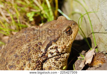 Common Toad Or European Toad, Portrait With Visible Venom Glands