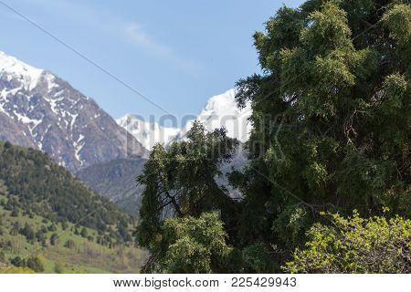 Coniferous Tree In The Mountains On The Nature .