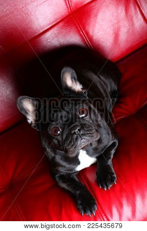 French Bulldog Red Background Studio Quality Light