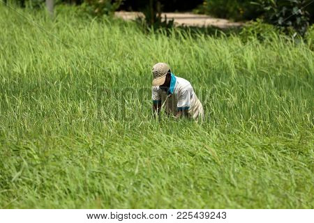 Rice farmers and rice fields in Sri Lanka
