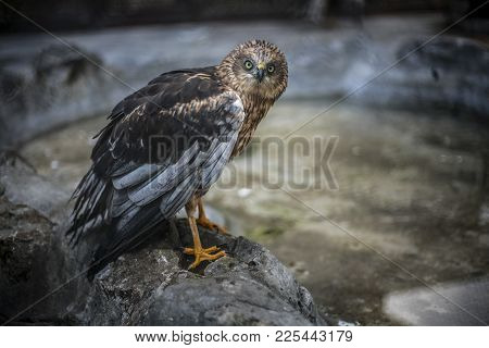 The Western Marsh Harrier Or In Latin Circus Aeruginosus Standing On A Rock While Looking Towards Th