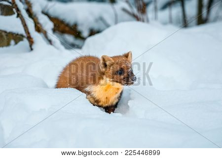 Single Weasel Sitting At Snow Field, Mustela Nivalis