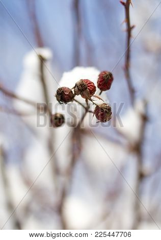 Snow On The Wild Rose Winter . In The Park In Nature