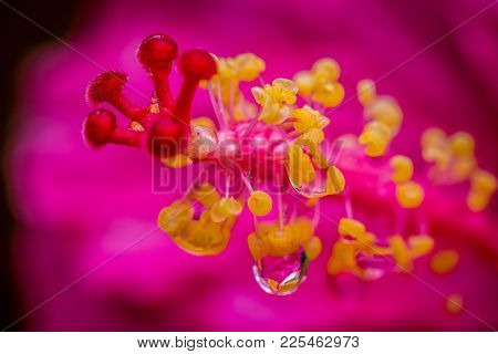 Macro Shot Of A Pink Hibiscus Stamen With A Water Droplet In The Garden.