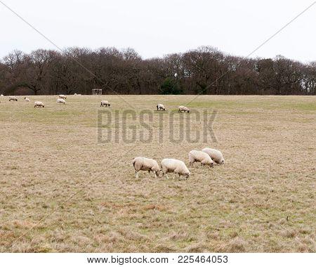 Herd Of Grazing Sheep In Field Grassland White Sky Autumn Winter; Essex; England; Uk