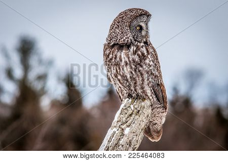 Portrait Of A Great Grey Owl, On A Cold Overcast Winter Day. Ontario, Canada.