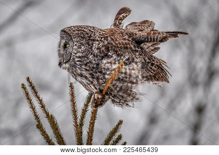 A Wind Blown Great Grey Owl In The Top Of A Tree, On A Cold Cloudy Winter Day, With A Shallow Depth