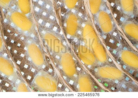 Pupa Or Silk Cocoon That Is Processed To Yield Silk Fiber