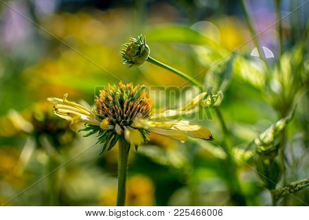 A Bright Yellow Coneflower In The Garden With A Wonderful Bokeh Background.