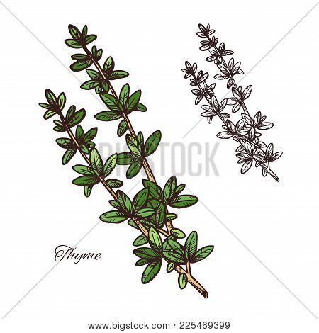 Thyme Spice Herb Sketch Of Natural Food Ingredient And Seasoning. Fresh Branch With Green Leaf Of Th