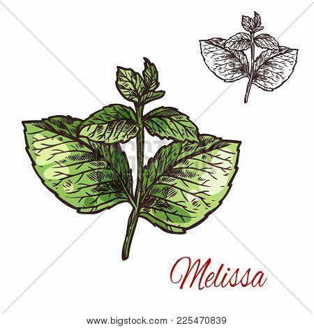 Melissa Branch Sketch Of Medical Plant And Aroma Herb. Lemon Balm Twig With Green Leaf, Natural Ingr