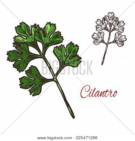 Coriander Or Cilantro Plant Isolated Sketch Of Spice Herb. Chinese Parsley Fresh Green Leaf And Twig