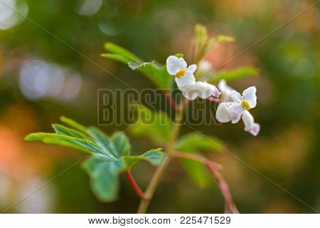 Closeup of Begonia x hybrida, Baby Wing White flower with yellow stamen, blurred background with bokeh