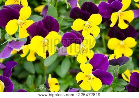 Colorful Pansy Flower Blossom In The Nature