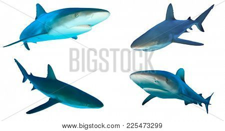Shark cutout. Caribbean Reef Sharks isolated on white background