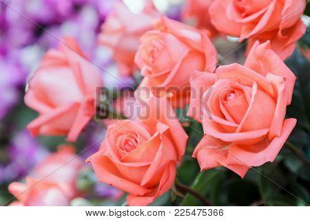 Rose Flower And Green Leaf Background In Rose Flower Garden At Sunny Summer Or Spring Day. Rose Flow