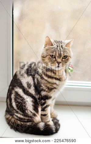 British Cat Brindle Sitting At The Window. The Breed Characteristics And Care Of Breed.