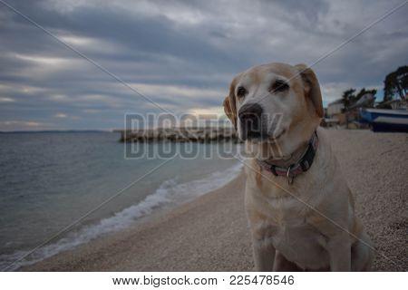 Golden Labrador Retriever Sitting At A Beach By The Sea