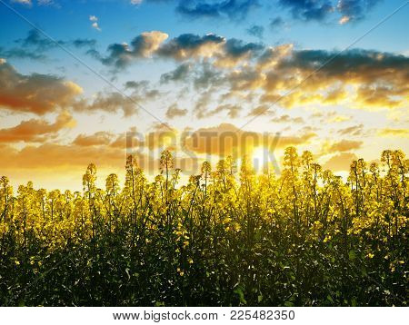 Flower Of A Rapeseed ( Brassica Napus ) At Sunset. Agricultural Plant Used In The Production Of Biof