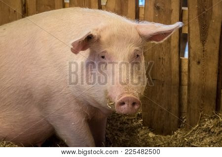 Portrait Of A Pig On A Farm, A Healthy Looking Female Sitting Inside In A Clean Pig Shed, Looking At