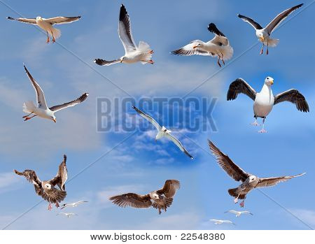 Set Of Flying Seagulls