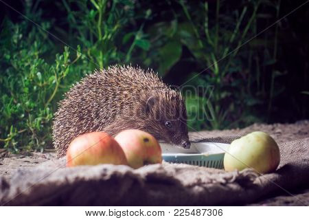 Hedgehog Night Apples Milk Drank Milk Frightened Watchful