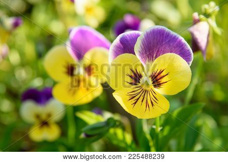 Pansy Flowers On Flower Bed In The Garden