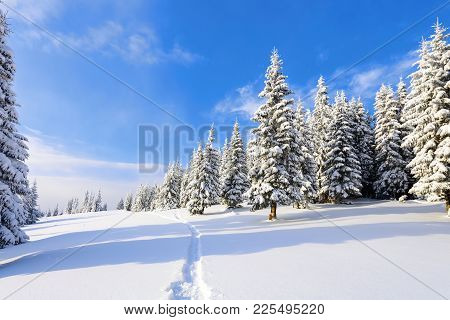 On A Frosty Beautiful Day Among High Mountains Are Magical Trees Covered With White Fluffy Snow Agai