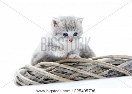 Little Grey Fluffy Kitten Being Curious And Serious While Exploring Surrounding And Sitting Together