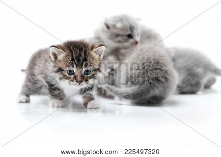 One Small Funny Curious Kitten Exploring White Photo Studio While Others Playing Behind It Isolated