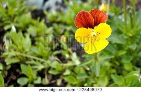 Bright Yellow Pansy Flower On Natural Green Background