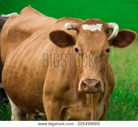 Red Cow Looks Directly At The Full Face On A Green Meadow