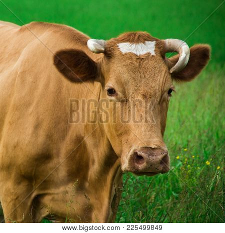 Red Cow On The Field Looking Away