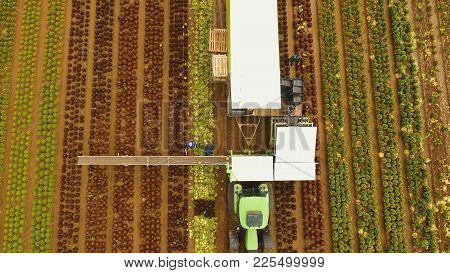 Aerial View Farm Workers Using A Unique Conveyor Belt System To Harvest Cauliflower, Cabbage From A
