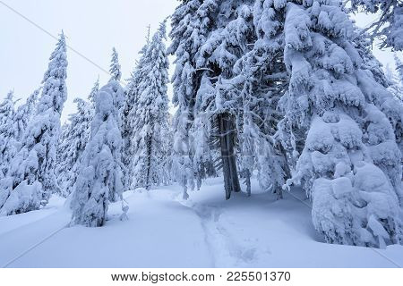 On A Frosty Beautiful Day Among Mountains Are Magical Trees Covered With White Fluffy Snow Against T