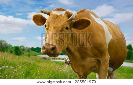 The Cow Stands On The Meadow And Looks Away