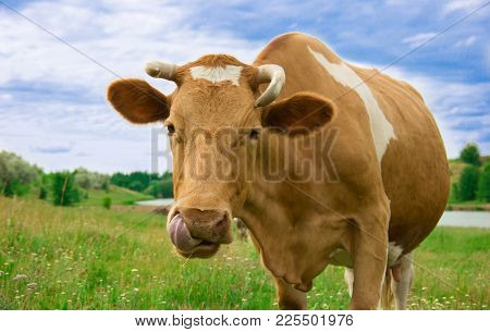 A Red Cow Licks His Nose With His Tongue