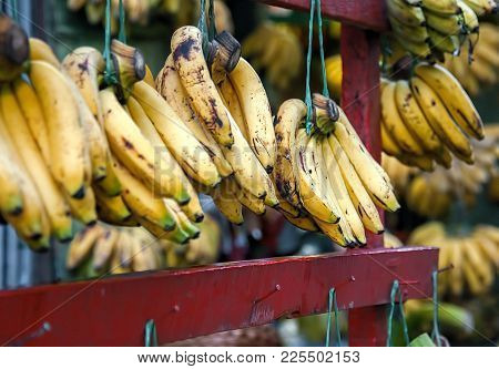 Just Bananas. A Store Selling Only Bananas. Each Bunch Is Suspended On Purple Wooden Bar. Some Are S