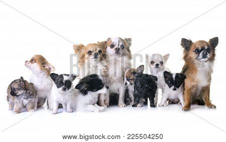Puppies Chihuahua And Adults  In Front Of White Background