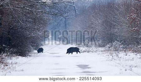 Wild Boars On Snow