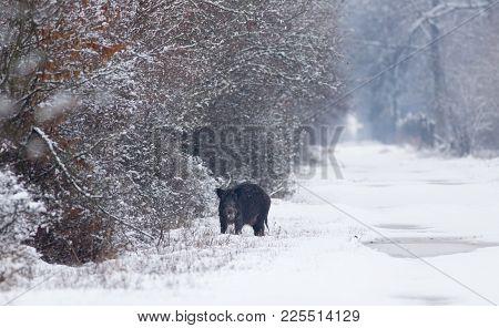 Wild Boar On Snow