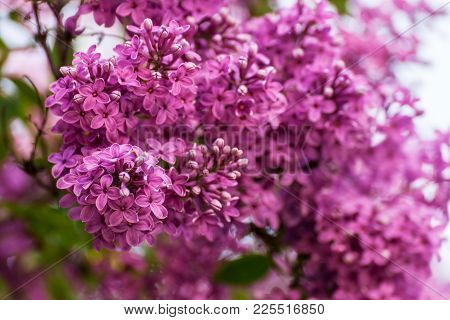 Lilac Blooms. A Beautiful Bunch Of Lilac Closeup. Lilac Flowering. Lilac Bush Bloom. Lilac Flowers I