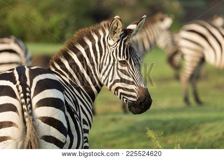 closeup of zebra on the grasslands of the Maasai Mara, Kenya