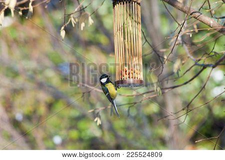 great tits on bird feeder on tree winter bird feeding