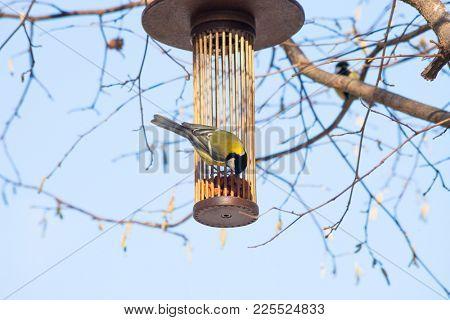 great tit on bird feeder on tree winter bird feeding