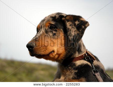 Baby French Shepherd