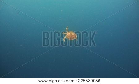 Sea Turtle Swimming Underwater In The Sea. Turtle Moves Its Flippers In The Ocean Under Water In The